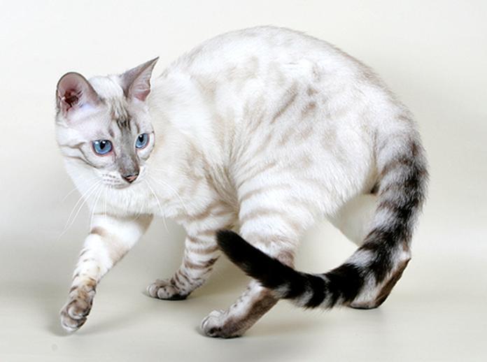 БЕНГАЛЬСКАЯ короткошерстная - Породистые кошки - Животные - Галерея